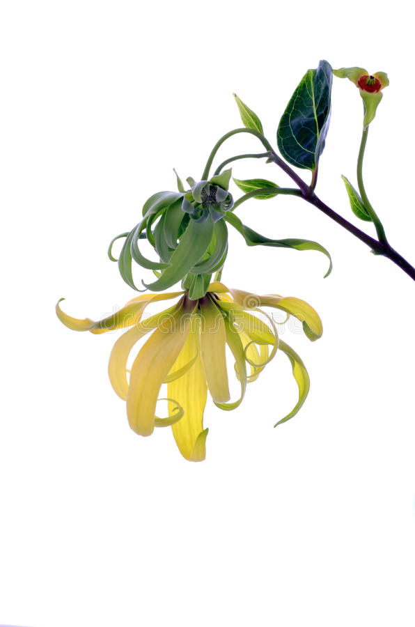 Flor do Ylang-Ylang do anão imagens de stock royalty free