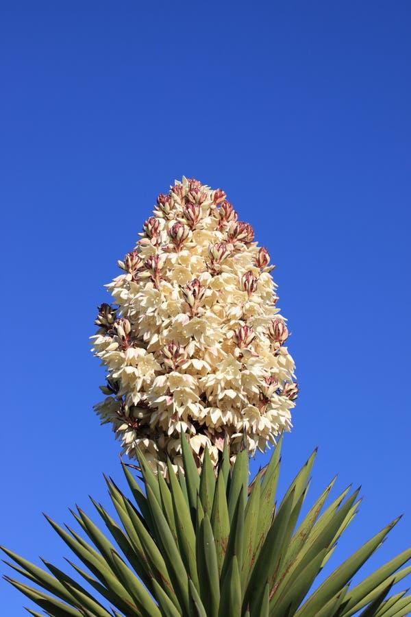 Flor do Yucca foto de stock