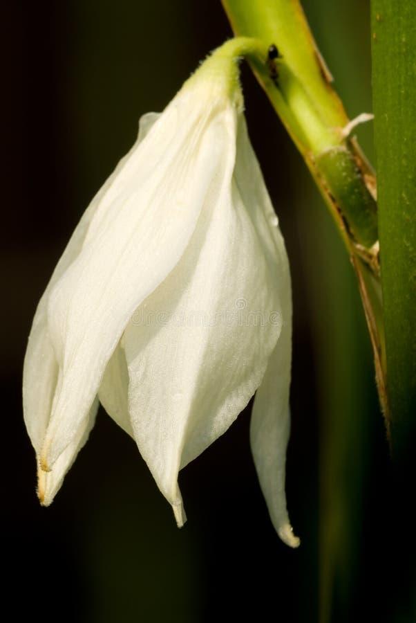Flor do Yucca fotos de stock