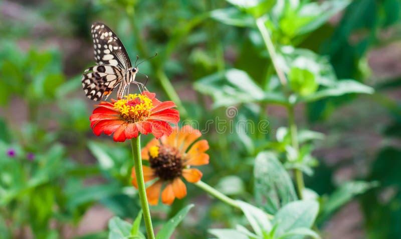 A flor do Zinnia e tem o voo da borboleta nela no jardim foto de stock
