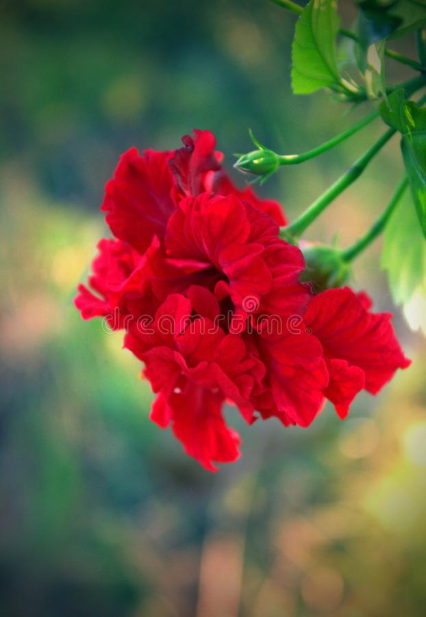 flor do zoba foto de stock royalty free