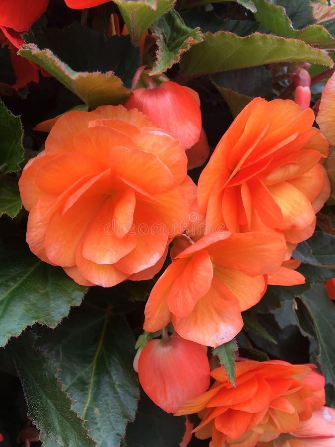 Flor doble de la begonia foto de archivo libre de regalías