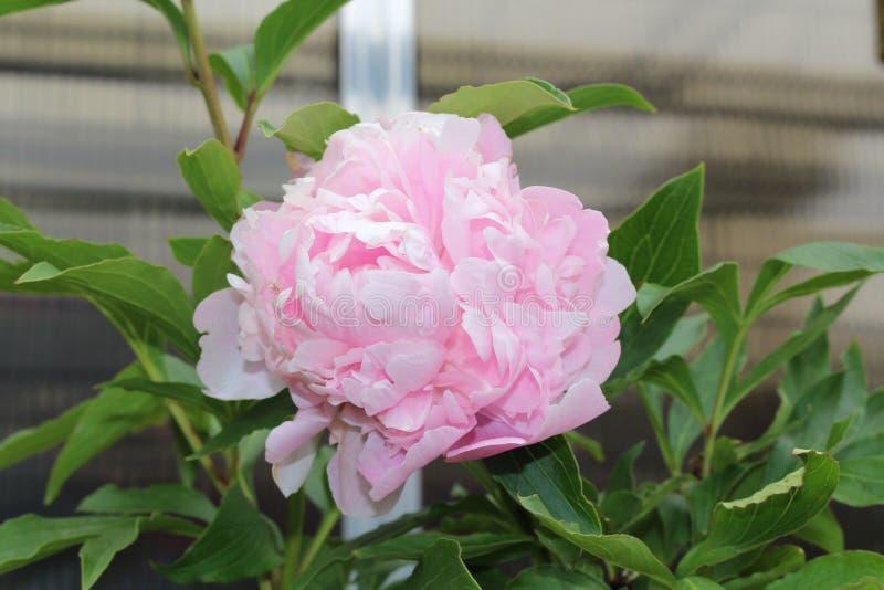 Flor doble rosada de la peonía imagen de archivo