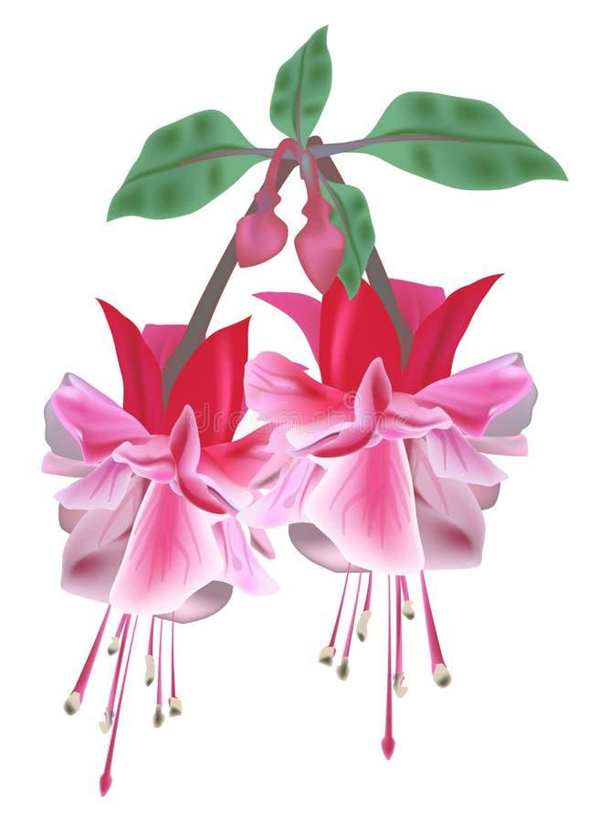 Flor dois cor-de-rosa isolada no branco ilustração do vetor