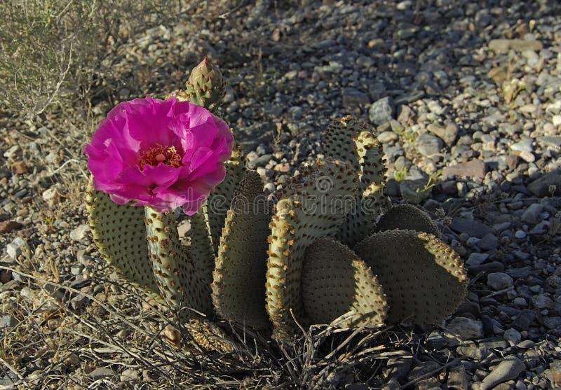Download Flor Dos Basilaris Do Opuntia Do Cacto De Beavertail Imagem de Stock - Imagem de bonito, selvagem: 107526681