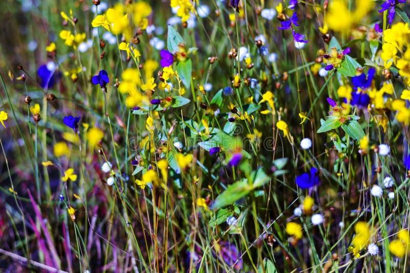 Flor dos coelestris de Burmania no campo imagem de stock royalty free