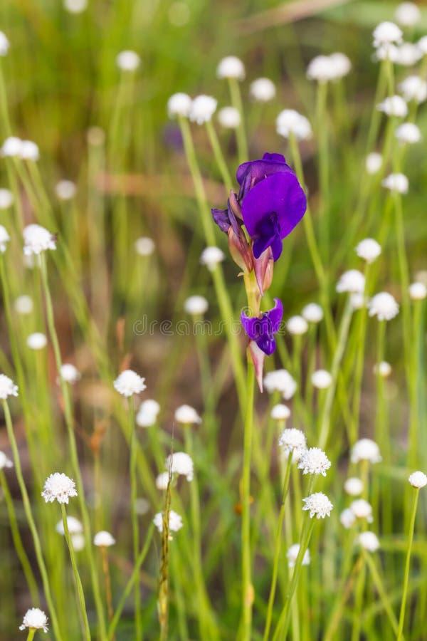 Flor dos delphinioides do Utricularia imagens de stock royalty free