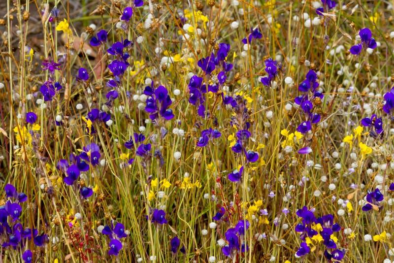 Flor dos delphinoides do Utricularia imagem de stock