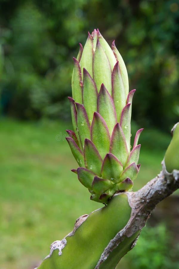 Flor dos jovens do fruto do dragão imagens de stock