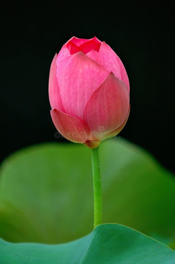 Flor dos lótus fotografia de stock royalty free