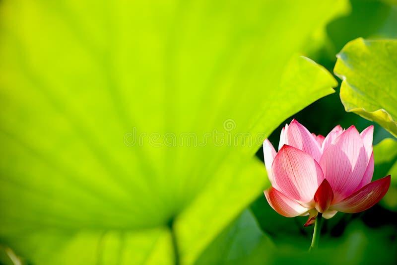 Flor dos lótus com verde à terra traseiro agradável foto de stock