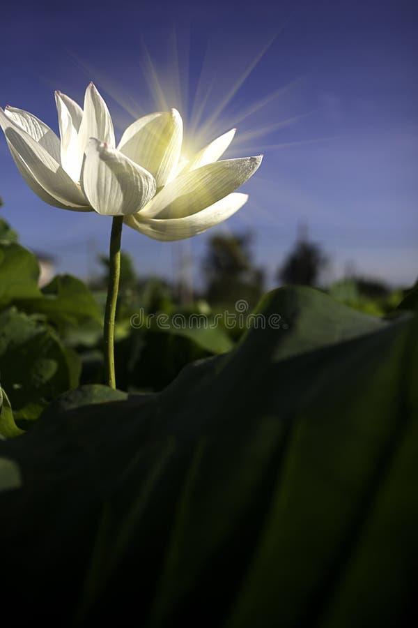 Flor dos lótus com verde à terra traseiro agradável fotos de stock royalty free