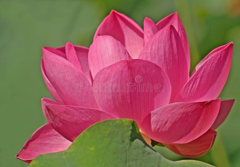 Flor dos lótus da cor-de-rosa quente imagem de stock