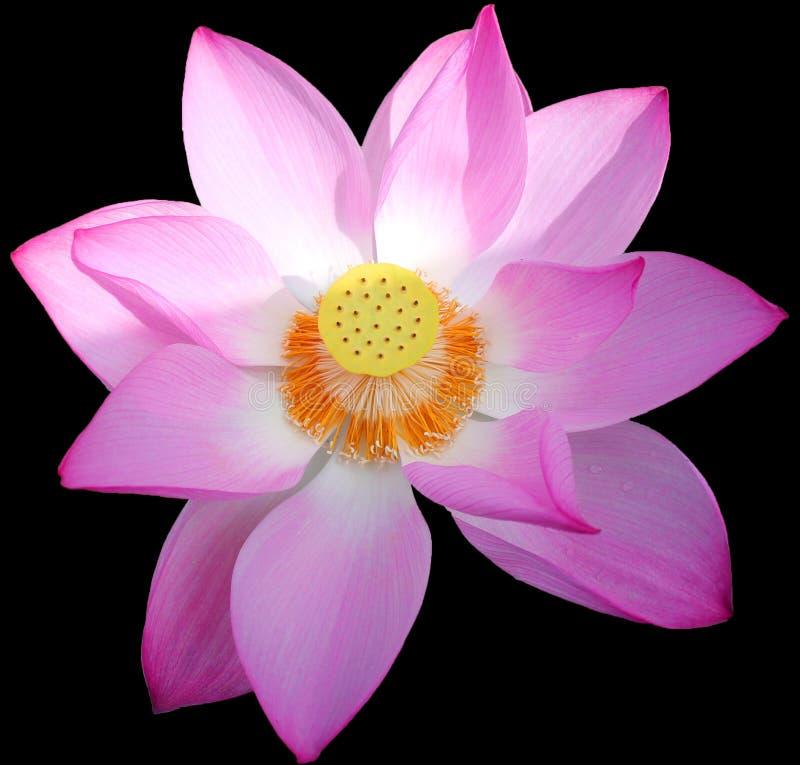 Download Flor dos lótus em China foto de stock. Imagem de bonito - 16852896
