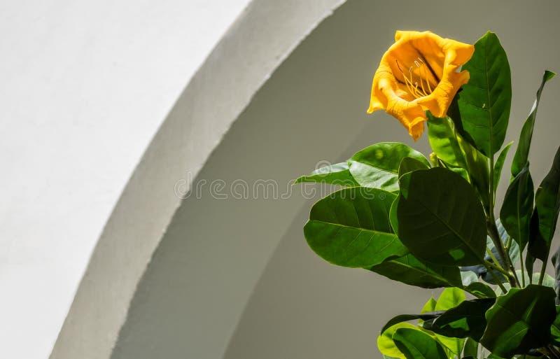 Flor dos máximos do Solandra da videira do ouro amarelo foto de stock royalty free
