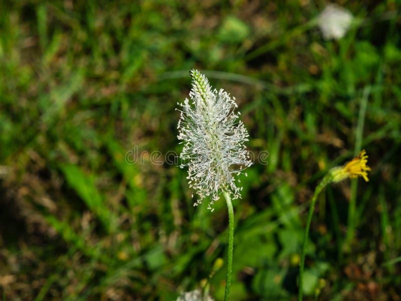 Flor dos meios do banana-da-terra grisalho ou do Plantago na erva daninha, foco macro, seletivo, DOF raso fotos de stock