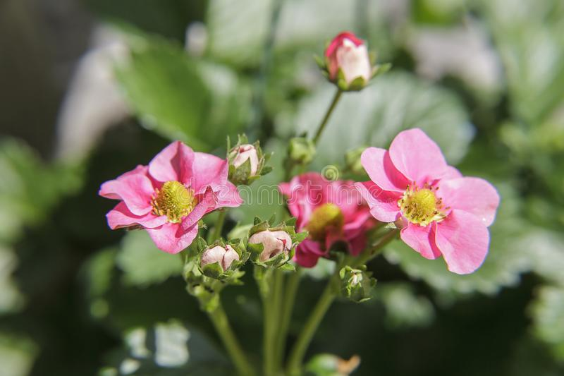 Flor dos morangos silvestres fotografia de stock royalty free