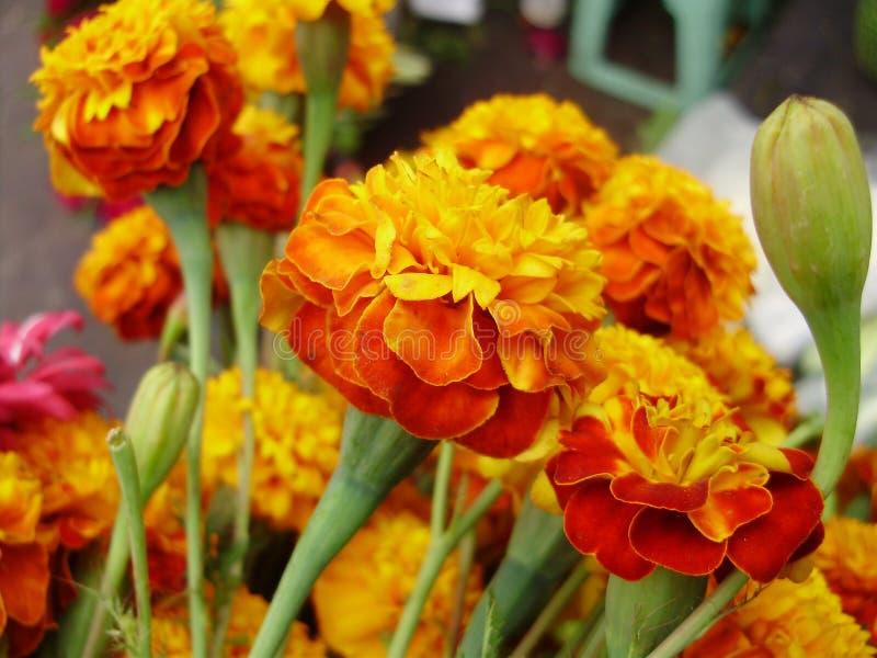 Flor dos mortos imagens de stock