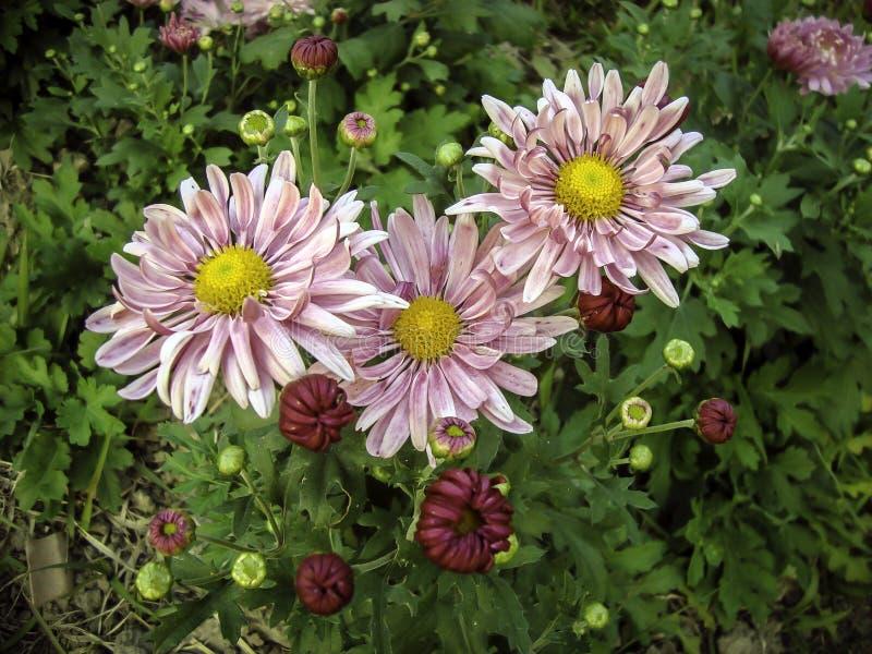 Flor dos Mums que floresce no inverno foto de stock royalty free