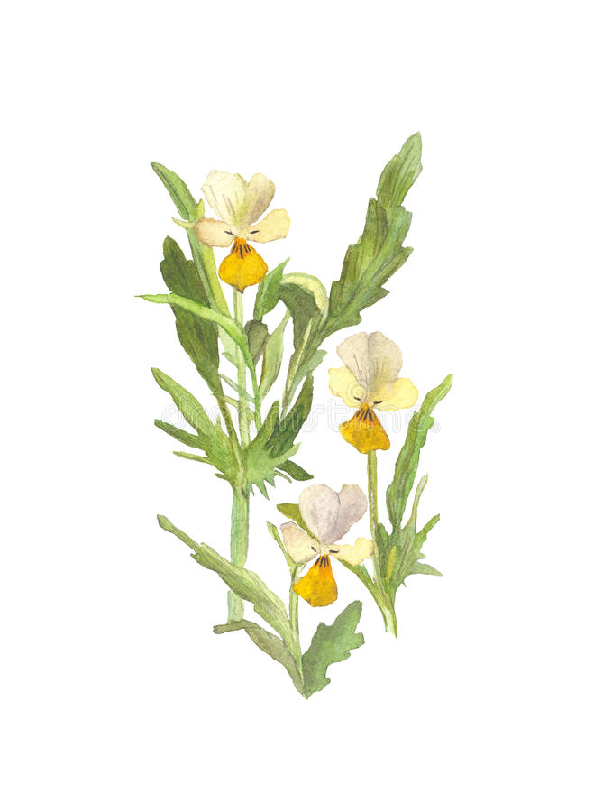 Flor dos pansies selvagens da aquarela no fundo branco ilustração do vetor