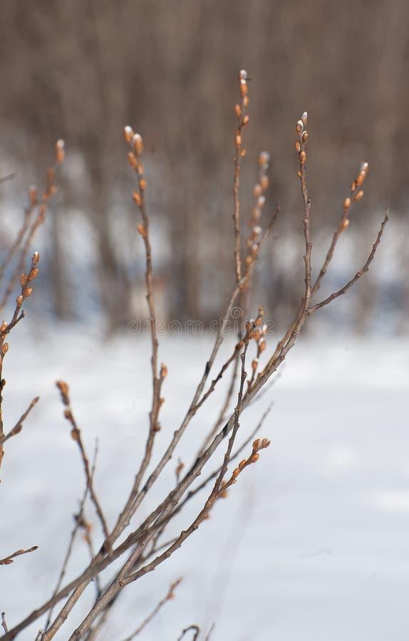 Flor dos ramos de árvore da mola fotografia de stock royalty free