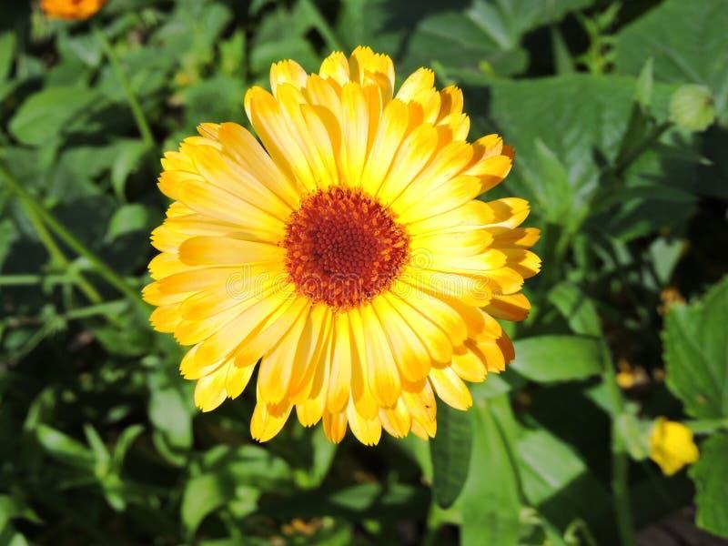 Flor dourada foto de stock royalty free