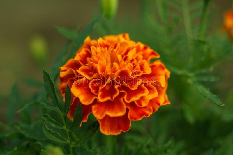 A flor dourada de cravo-de-defunto francês, patula de Tagetes Flor do jardim de Tagetes Close-up da flor bonita do cravo-de-defun fotos de stock royalty free