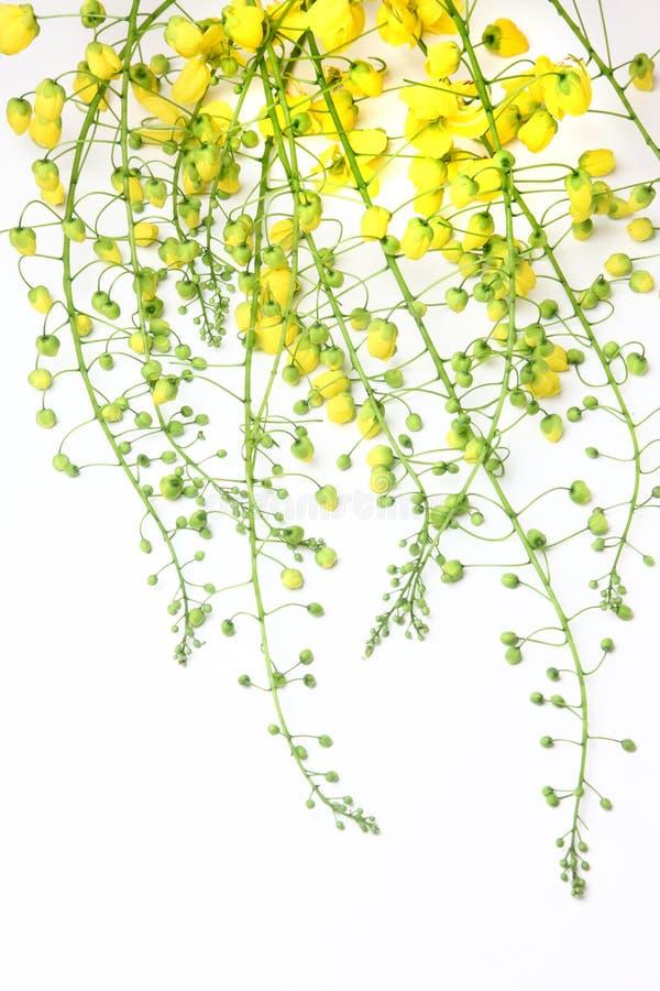 Flor dourada do chuveiro fotos de stock
