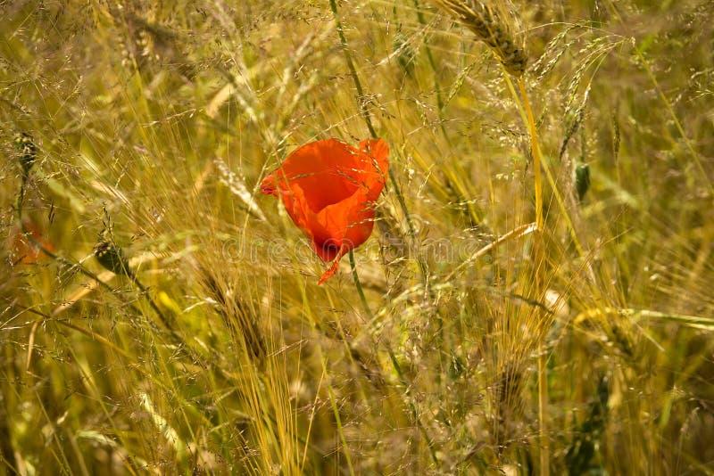 Flor dourada do trigo e da papoila imagem de stock