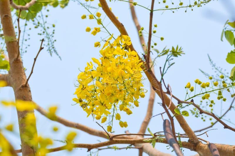 Flor ducha o de la fístula de oro de la casia imagenes de archivo