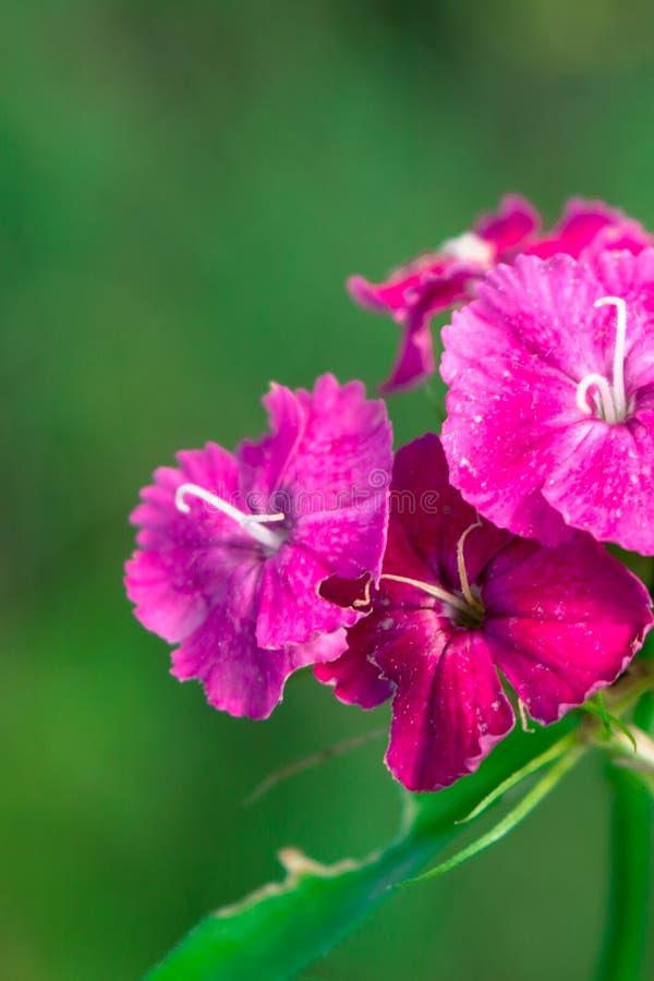 Flor dulce de Guillermo foto de archivo libre de regalías