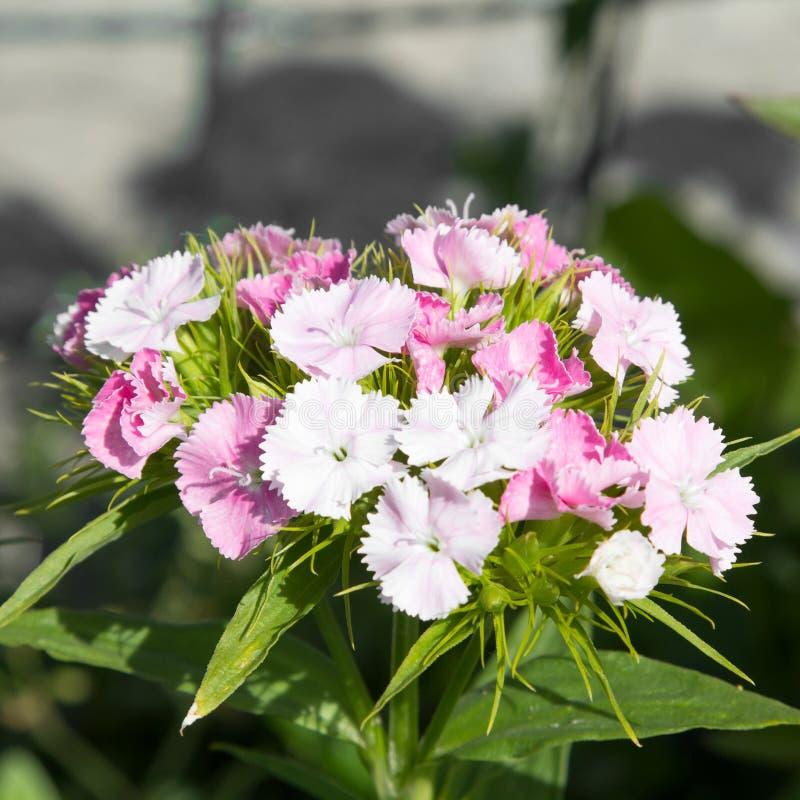 Flor dulce de Guillermo fotos de archivo libres de regalías