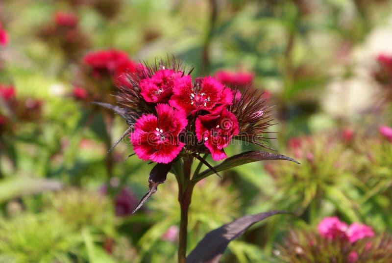 Flor dulce de Guillermo Barbatus del clavel fotografía de archivo libre de regalías