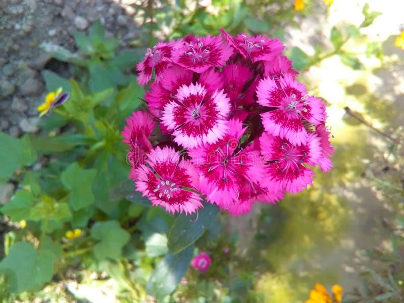 Flor dulce de Guillermo imágenes de archivo libres de regalías