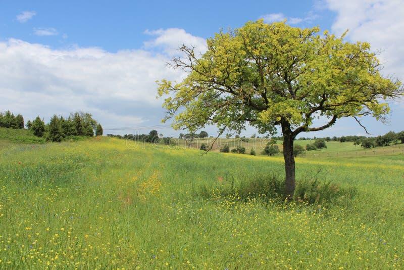 Flor e árvore amarelas em Turquia imagens de stock royalty free