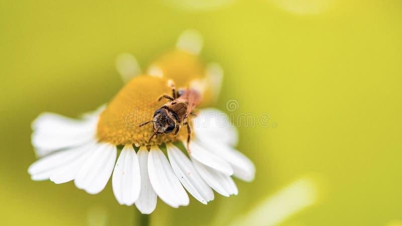 Flor e abelha da margarida da mola ?nicas imagem de stock royalty free
