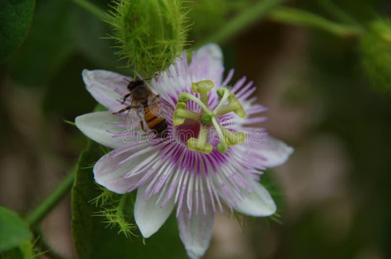 Flor e abelha da paixão fotografia de stock