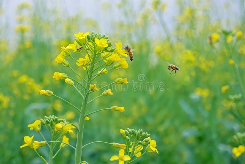 Flor e abelha da violação imagens de stock