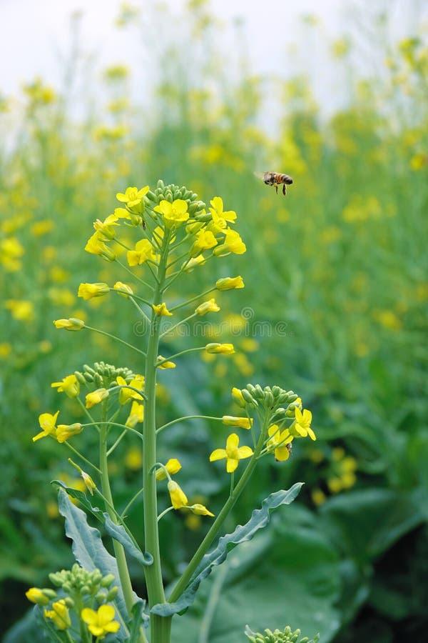 Flor e abelha da violação imagens de stock royalty free