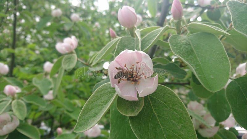 Flor e abelha do oblonga do Cydonia imagem de stock