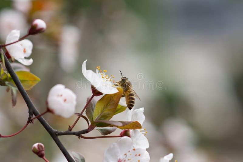 Flor e abelha do pêssego fotografia de stock