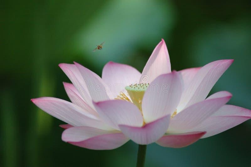 Flor e abelha dos lótus imagens de stock royalty free