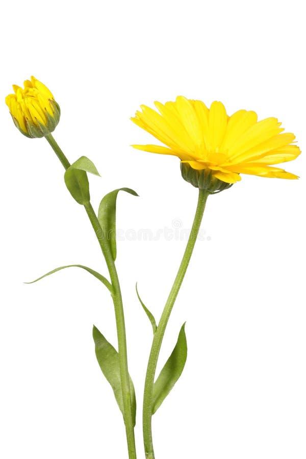 Flor e botão amarelos do calendula foto de stock