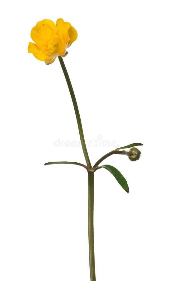 Flor e botão do botão de ouro do ouro na haste fotos de stock