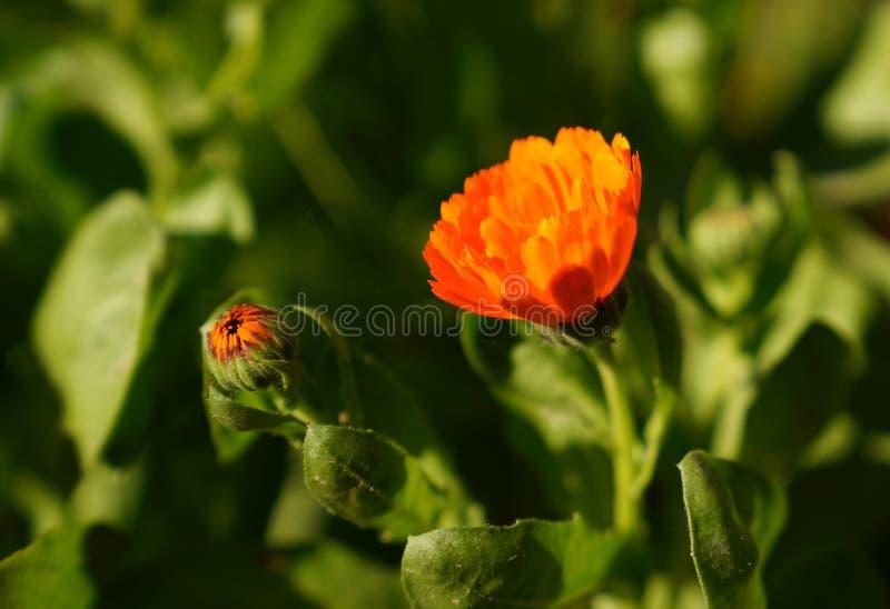 Flor e botão do cravo-de-defunto dos officinalis do Calendula com a folha em garde fotografia de stock royalty free