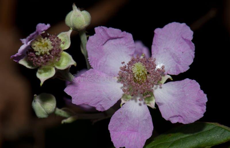Flor e botões da amora-preta do elmleaf fotografia de stock