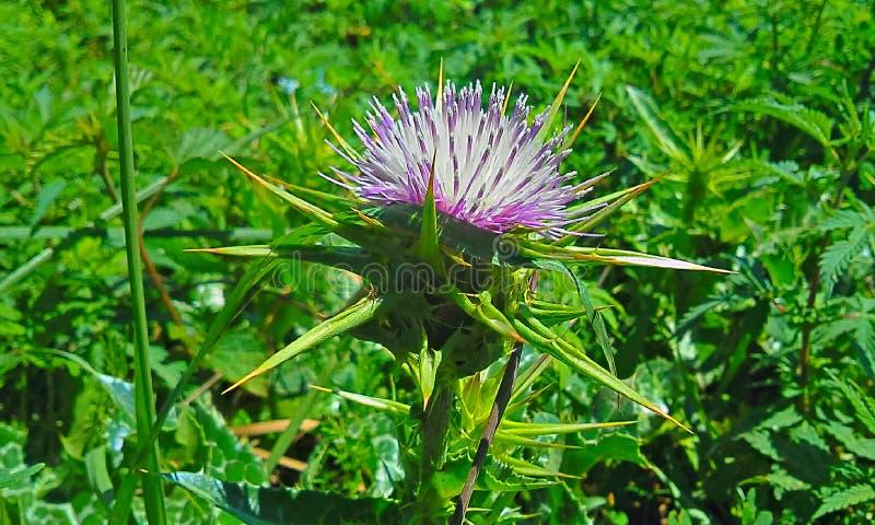 Flor e espinhos do cardo foto de stock
