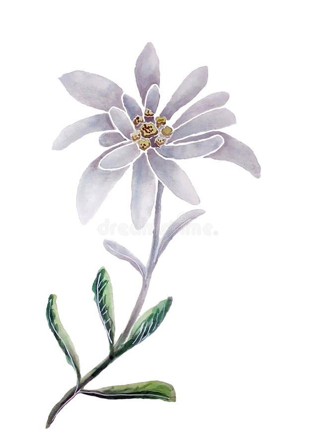 Flor e folha dos edelvais com aquarela imagens de stock royalty free