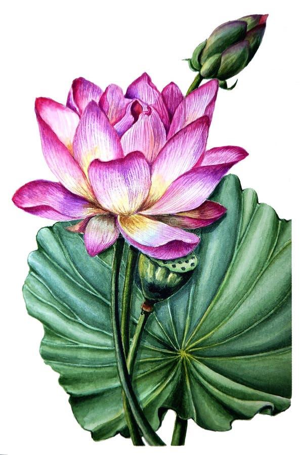 Flor e folha Lotus cor-de-rosa ilustração do vetor