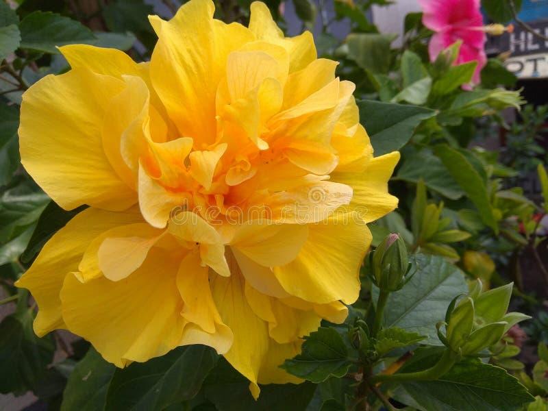 Flor e folhas amarelas do hibiscus fotos de stock royalty free